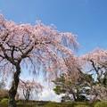 しだれ桜の咲く情景