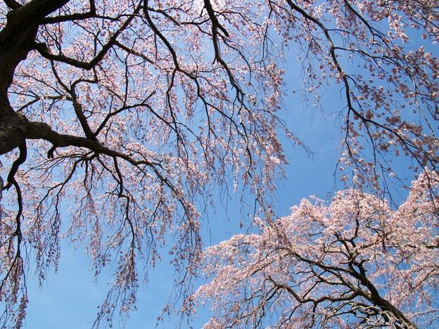 垂れるサクラ、春の青空の元