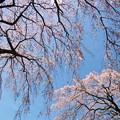 Photos: 垂れるサクラ、春の青空の元