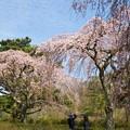 垂れるサクラ、春の霞空の下