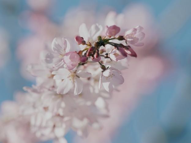 春の青空、桜の花びらと
