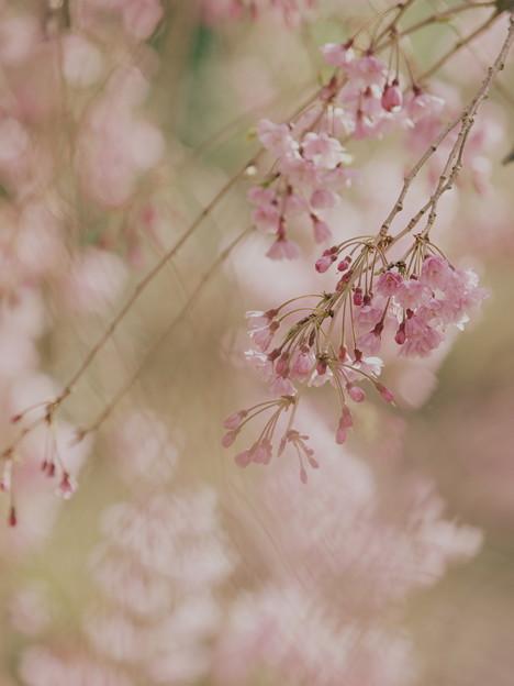 サクラ垂れる伊豆の高原