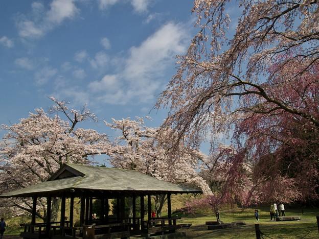 高原の青空と桜と