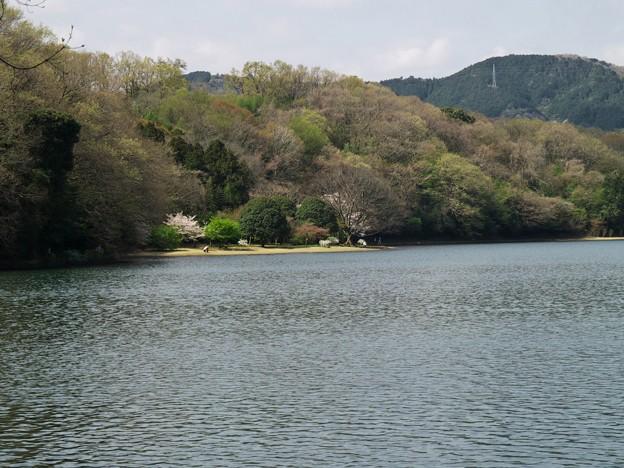湖畔に咲く桜