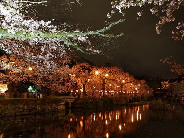 神池に映える夜桜と灯りと