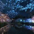 神池を覆う桜、散り初め…