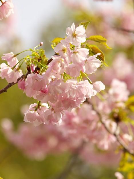 日本の桜の珍種 -b