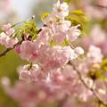 写真: 日本の桜の珍種 -b