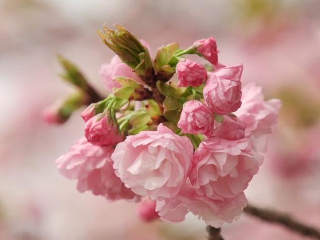 日本の桜、その珍種 -b