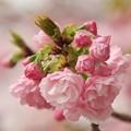 写真: 日本の桜、その珍種 -b
