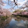 写真: 池面に舞い降りた花びらたち