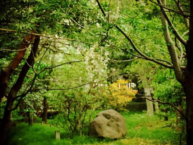 垂れる藤の花