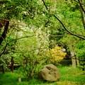 写真: 垂れる藤の花