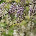 写真: ほんのり、藤の香り