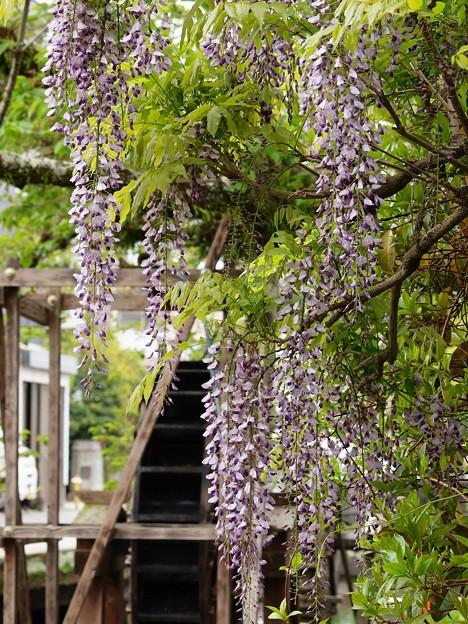 せせらぎに咲いた藤の花