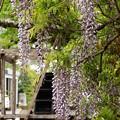 写真: せせらぎに咲いた藤の花
