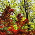 写真: 2色の若葉