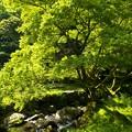 清流の主たる樹木