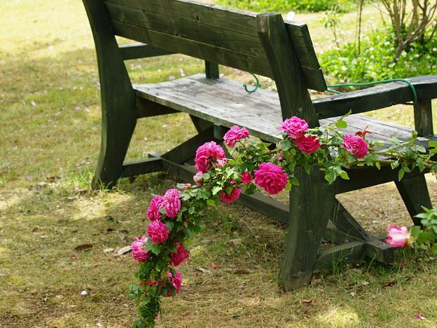 ベンチを飾る初夏の薔薇