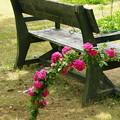 写真: ベンチを飾る初夏の薔薇