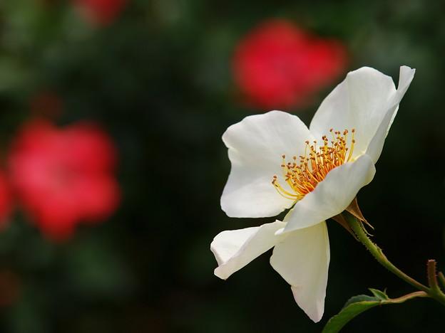 白い花びら、赤い花びら