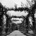 写真: 春薔薇のアーチ