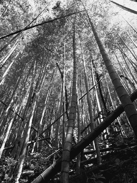 朽ちた竹、そびえる竹