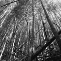 写真: 朽ちた竹、そびえる竹