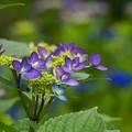 写真: 水辺の咲き始め