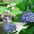 湧水と紫陽花と