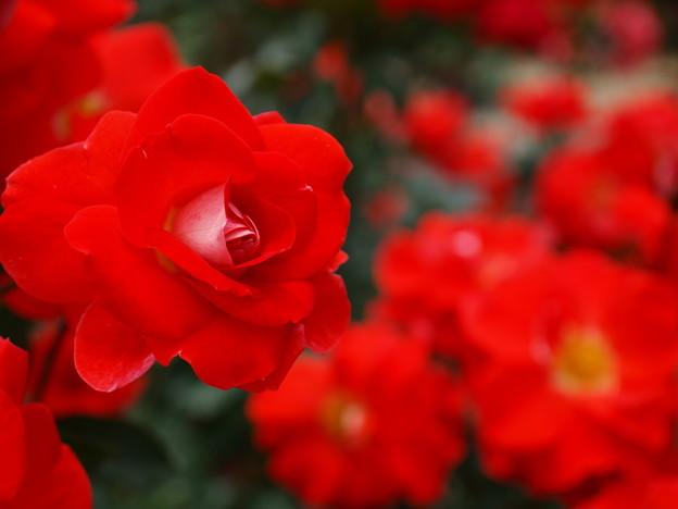 燃ゆる初夏・燃ゆる薔薇