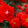 写真: 燃ゆる初夏・燃ゆる薔薇