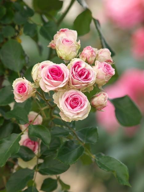 街の花~薔薇の香り