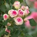 写真: 街の花~薔薇の香り