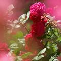 写真: 紅い薔薇一族