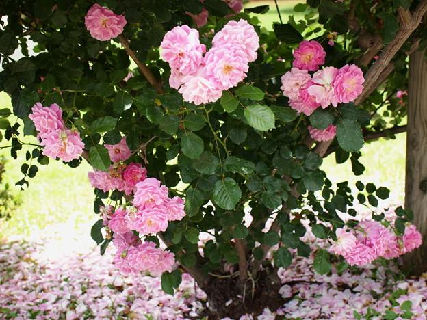 写真: 大地に舞い降りた花びら