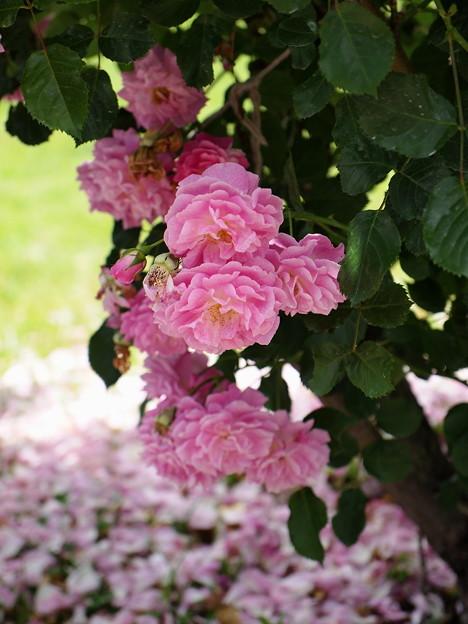 写真: 大地にも咲いた花びら