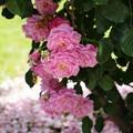 大地にも咲いた花びら
