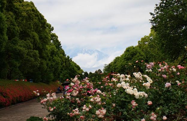 富士山と初夏の薔薇