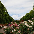 写真: 富士山と初夏の薔薇