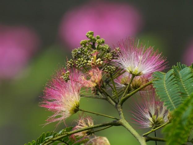合歓の木と紫陽花と