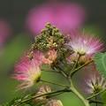 写真: 合歓の木と紫陽花と