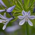 写真: せせらぎに咲くアガパンサス