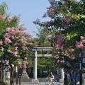 Photos: 百日紅咲く三嶋大社前 -a