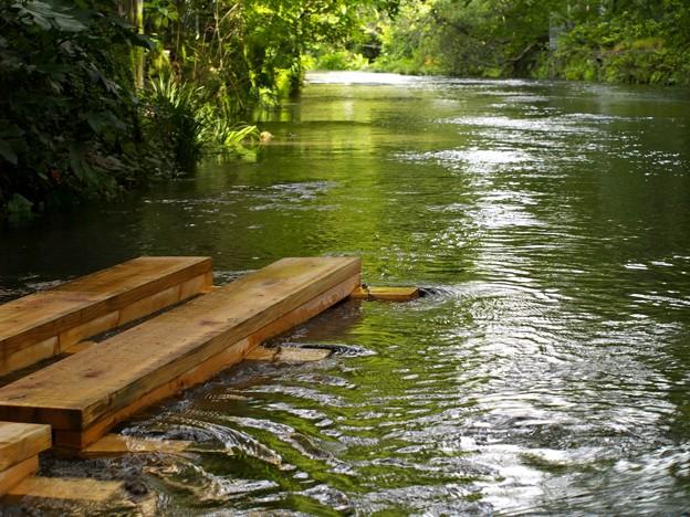 源兵衛川遊歩道は水没中…
