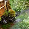 写真: 散水注ぐ梅花藻の里