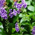 写真: せせらぎの小径に咲いたデュランタ