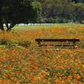 写真: 秋桜畑の中の…
