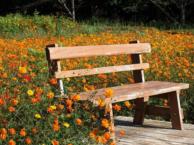 秋桜に囲まれた憩いのベンチ~総天然色画