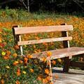 Photos: 秋桜に囲まれた憩いのベンチ~総天然色画
